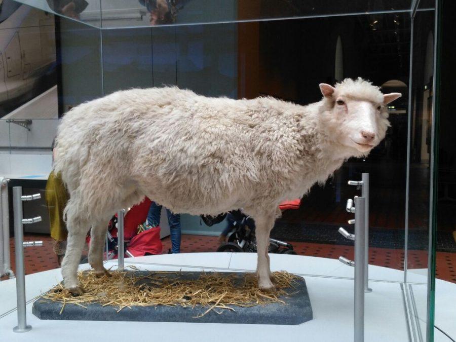 Dolly das Schaf